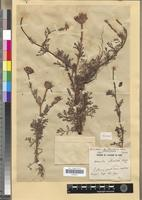Holotype of Anacyclus submedians Maire [family ASTERACEAE]