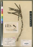 Holotype of Jumellea punctata H.Perrier [family ORCHIDACEAE]