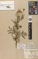 Holotype of Tagetes terniflora Kunth [family ASTERACEAE]