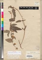 Syntype of Phyllocalyx quartinianus A. Rich. [family FABACEAE-PAPILIONOIDEAE]