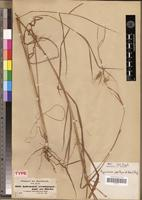 Syntype of Andropogon papillipes A.Rich. [family POACEAE]
