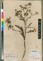 Holotype of Sium angustifolium Thunb. [family APIACEAE]