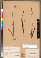 Isotype of Hesperantha lutea Baker var. lucudenta R.C.Foster [family IRIDACEAE]