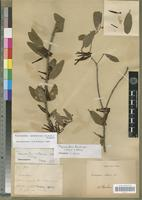 Holotype of Tapinanthus voltensis Balle [family LORANTHACEAE]