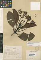 Isotype of Couma catingae Ducke [family APOCYNACEAE]