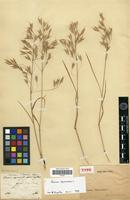 Type of Bromus littoralis Steud. [family POACEAE]