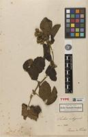 Holotype of Rubus nubigena Kunth [family ROSACEAE]