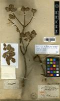Holotype of Quercus aucherii Jaub. & Spach [family FAGACEAE]