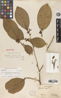 Isolectotype of Erythroxylum bahiense Peyr. [family ERYTHROXYLACEAE]