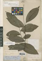 Isolectotype of Cymbopetalum longipes Benth. ex Diels [family ANNONACEAE]