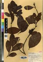 Isotype of Beilschmiedia vidalii Kosterm. [family LAURACEAE]
