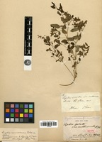 Isotype of Cuphea spicata Cav. var. molliuscula A.St.-Hil. [family LYTHRACEAE]