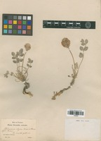 Type of Hedysarum elegans Boiss. & A. Huet [family FABACEAE]