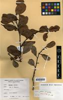Holotype of Diospyros glans F.White [family EBENACEAE]
