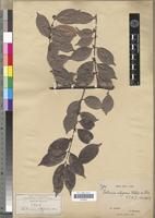 Isotype of Salacia elegans Oliv. [family CELASTRACEAE]
