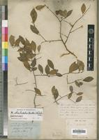 Lectotype of Cicca rhomboidalis Baill. [family EUPHORBIACEAE]