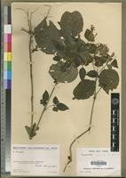 Holotype of Hypoestes extensa Benoist [family ACANTHACEAE]
