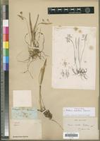 Holotype of Malaxis distichum Thouars [family ORCHIDACEAE]
