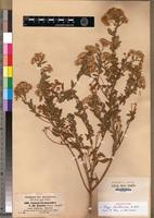 Holotype of Conyza baccharoides A.Rich. [family ASTERACEAE]