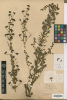 Holotype of Aconitum scaposum Franch. [family RANUNCULACEAE]
