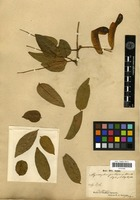 Isotype of Myroxylum pubescens Kunth [family FABACEAE]