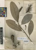 Type of Michelia baillonii (Pierre) Finet & Gagnep. [family MAGNOLIACEAE]