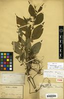 Holotype of Strobilanthes pierrei Benoist [family ACANTHACEAE]
