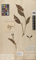 Holotype of Loranthus piperoides Kunth [family LORANTHACEAE]