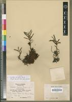 Isotype of Tridactyle brevifolia Mansf. [family ORCHIDACEAE]