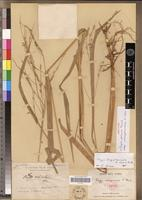 Isotype of Oryza perennis Moench subsp. madagascariensis A.Chev. [family POACEAE]