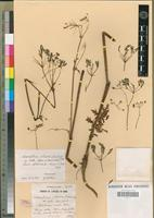 Holotype of Chaerefolium sylvestre (L.) Schinz. & Thell. subsp. molle (Boiss. & Rent.) Maire [family APIACEAE]