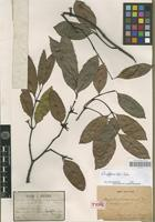 Isolectotype of Ancylocladus cochinchinensis Pierre [family APOCYNACEAE]
