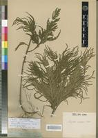 Type? of Selaginella rionegrensis Baker [family PTERIDOPHYTA]