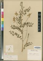 Isolectotype of Astragalus sylvaticus S.Watson [family FABACEAE-PAPILIONOIDEAE]