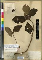 Isotype of Alloplectus congestus Linden [family GESNERIACEAE]
