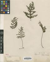 Isotype of Trichomanes cartilagineum Vieill. & Pancher [family PTERIDOPHYTA]