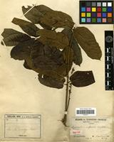 Isolectotype of Dysoxylum rufescens Vieill. ex Pancher & Sebert [family MELIACEAE]