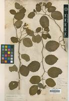 Isotype of Cordia lutea Lam. [family BORAGINACEAE]