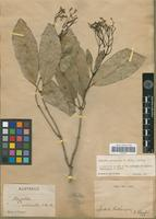 Type of Pagetia medicinalis F.Muell. [family RUTACEAE]