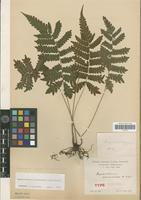 Syntype of Dryopteris acromanes Christ [family PTERIDOPHYTA]