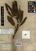 Holotype of Sleumerodendron austro-caledonicum (Brongn. et Gris) Virot [family PROTEACEAE]