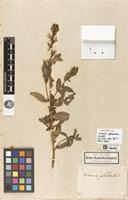 Holotype of Linaria glabrata Kunth [family PLANTAGINACEAE]
