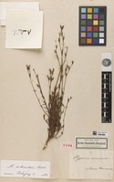 Holotype of Hypericum moranense Kunth [family CLUSIACEAE]
