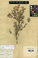Isotype of Brickellia veronicifolia (Kunth) A.Gray var. senilis B.L.Rob. [family ASTERACEAE]