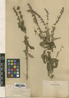 Isotype of Salvia townsendii Fernald [family LAMIACEAE]