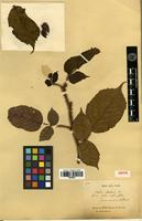 Isotype of Rubus ellipticus Sm. f. acuminatus Franch. [family ROSACEAE]
