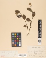 Isotype of Waltheria gracilis A.St.-Hil. [family MALVACEAE]