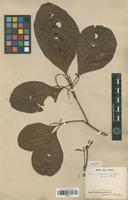 Isotype of Allophylus glabratus Radlk. [family SAPINDACEAE]