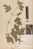 Isolectotype of Blumenbachia latifolia Cambess. [family LOASACEAE]