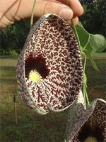 Aristolochia sp.